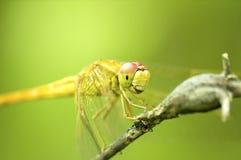 Pertica della libellula su un tronco Fotografie Stock