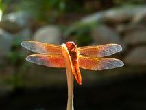 Pertiche di una libellula dell'arancia su un bastone fotografia stock