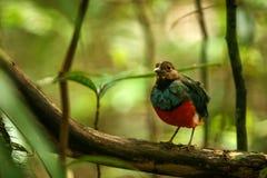 Pertiche su un ramo in giungla indonesiana, specie endemiche in Indonesia, birding esotico di celebensis di Erythropitta di pitta fotografia stock libera da diritti