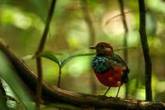 Pertiche su un ramo in giungla indonesiana, specie endemiche in Indonesia, birding esotico di celebensis di Erythropitta di pitta immagine stock