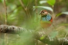 Pertiche su un ramo in giungla indonesiana, specie endemiche in Indonesia, birding esotico di celebensis di Erythropitta di pitta fotografia stock