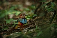 Pertiche su un ramo in giungla indonesiana, specie endemiche in Indonesia, birding esotico di celebensis di Erythropitta di pitta fotografie stock libere da diritti