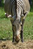 Pretty black and white zebra with its head lowered. Pertty black and white zebra with its head lowered while grazing in a field Royalty Free Stock Images
