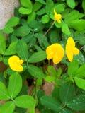 Peru bean. Field in Dassada resort Thailand Stock Images