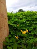 Peru bean field. Peru field in Dassada resort Thailand Stock Images