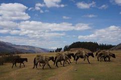 Peru - Cusco-Paarden die Hooi dragen Royalty-vrije Stock Fotografie