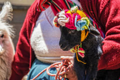 Peru-Frauenbabyalpaka Lizenzfreies Stockfoto