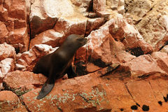 Peru, het wild op Islas Ballestas dichtbij Paracas Stock Foto's