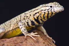 Peru Pacific Iguana (Microlophus peruvianus) Stock Photography