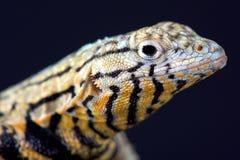 Peru Pacific Iguana (Microlophus peruvianus) Royalty Free Stock Images