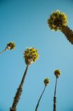 Peru Palms Arkivbild