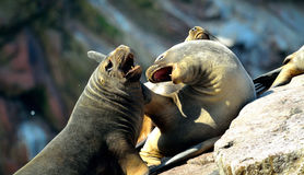 Peru, sea lions Royalty Free Stock Images