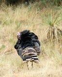 Peru selvagem Preening Foto de Stock Royalty Free