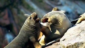 Peru, zeeleeuwen Royalty-vrije Stock Afbeeldingen