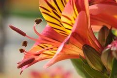 peruan för blommaliljamakro Royaltyfri Fotografi