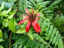 Peruana de nica de ³ d'amazà de Flora Images libres de droits