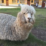 Peruanische Alpaka Vicugna pacos Stockfotografie