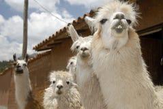Peruanische Lamas Stockfoto