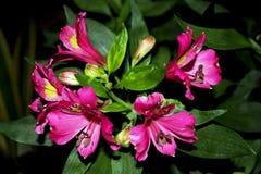Peruanische Lilie, Inca Joli, Alstroemeria stockfotos