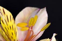 Peruanische Lilie oder Lilie der Inkas stockbild