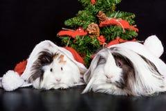 Peruanische Meerschweinchen mit Weihnachtskappe und -baum Stockfotos