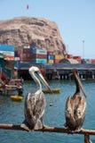 Peruanische Pelikane in Arica Stockfotografie