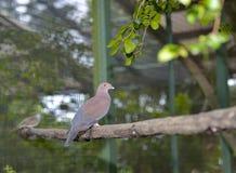 Peruanische Taube (Patagioenas-oenops) Stockfotografie
