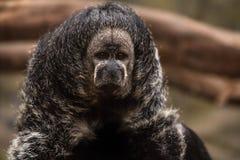 Peruanischer Affe Lizenzfreie Stockfotos