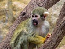 Peruanischer Affe erschrocken Lizenzfreie Stockbilder