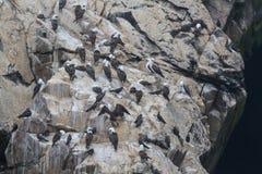 Peruanischer Dummkopf auf einem Felsen an der Küste nahe Lima Stockfotografie