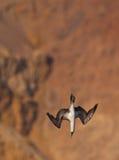 Peruanischer Dummkopf im Sturzflug stockfotos