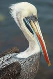 Peruanischer Pelikan Lizenzfreie Stockfotos