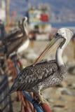 Peruanischer Pelikan am Fischmarkt in Valparaiso, Chile Lizenzfreie Stockfotos