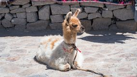 Peruanisches Alpaka in Anden, Peru lizenzfreie stockfotografie