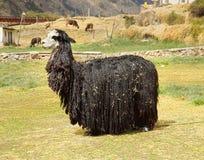 Peruanisches Lama Stockbild
