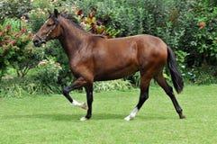 Peruanisches Pferd Stockfotos
