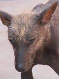 Peruanisches unbehaartes Hundegesicht stockfotos