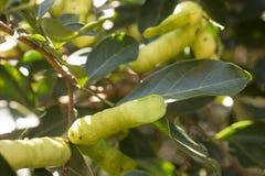 Peruansk frukt kallade den Pacay Inga feuilleeien Fotografering för Bildbyråer