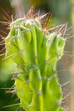 Peruansk kaktus Royaltyfri Bild