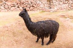 Peruansk Lama Lantg 229 Rd Av Laman Alpaca Vikunjaull I