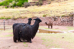 Peruansk Llama Lantgård av laman, alpaca, vikunjaull i Peru, Sydamerika Andean djur Arkivfoton