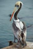 Peruansk pelikan Fotografering för Bildbyråer