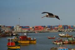 Peruansk pelikan i flykten Royaltyfri Foto