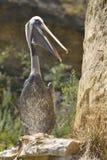 Peruansk pelikan på klippan Royaltyfri Fotografi