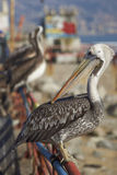 Peruansk pelikan på fiskmarknaden i Valparaiso, Chile Royaltyfria Foton