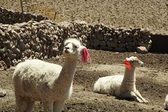 peruanska alpacas Arkivfoton
