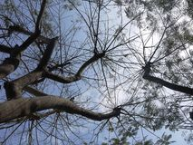 Peruanskt träd Royaltyfri Foto
