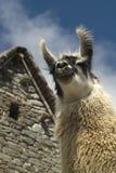 Peruvain Lama lächelt am machu lizenzfreie stockbilder
