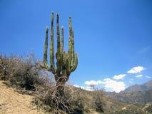 Peruviaanse Cactus Royalty-vrije Stock Afbeeldingen