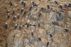 Peruviaanse domoor op een rots bij de kust dichtbij Lima Royalty-vrije Stock Fotografie